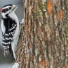 How the brains of woodpeckers might help American football players – USA TODAY